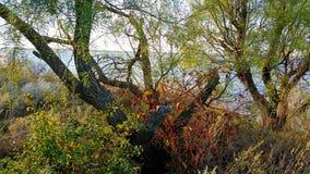 A árvore do Mesquite com vermelho e verde proveio plantas Imagens de Stock Royalty Free