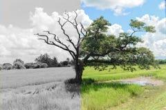 Árvore do mistério que outra parcialmente inoperante e uma outra metade ainda viva foto de stock royalty free