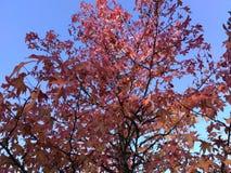 Árvore do outono Foto de Stock Royalty Free