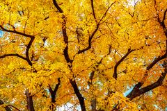 árvore do outono com as folhas amarelas brilhantes Fotografia de Stock Royalty Free