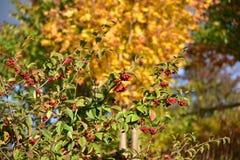 Árvore do outono com frutos vermelhos no dia ensolarado Imagens de Stock Royalty Free