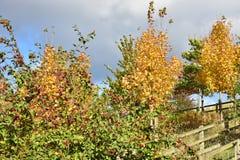 Árvore do outono com frutos vermelhos no dia ensolarado Imagens de Stock