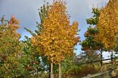 Árvore do outono com frutos vermelhos no dia ensolarado Imagem de Stock