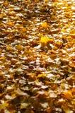 Árvore do outono com natureza bonita em Nova Zelândia Imagens de Stock Royalty Free