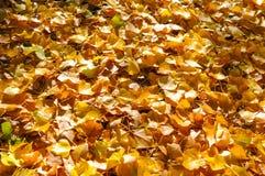 Árvore do outono com natureza bonita em Nova Zelândia Foto de Stock