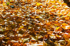 Árvore do outono com natureza bonita em Nova Zelândia Fotografia de Stock
