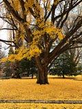 Árvore do outono com ramo amarelo da folha Fotografia de Stock
