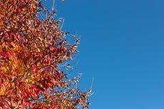 Árvore do outono de encontro ao céu azul Foto de Stock Royalty Free