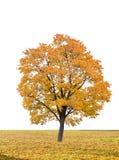 Árvore do outono em um fundo branco Imagens de Stock