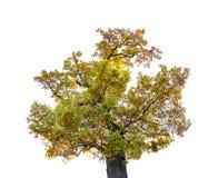 Árvore do outono isolada no fundo branco foto de stock