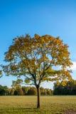 Árvore do outono no sol da tarde imagem de stock