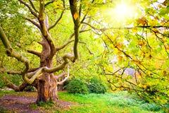 Árvore do outono. Sycamore Foto de Stock