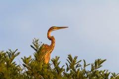 Árvore do pássaro da garça-real Foto de Stock