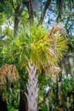 A árvore do Palmetto ajustou-se contra um céu azul de Carolina Imagem de Stock