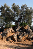 Árvore do petróleo em Sicília Foto de Stock