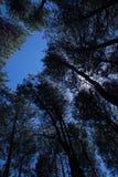 Árvore do pinus Imagem de Stock