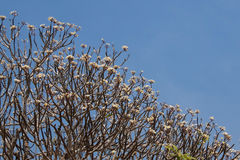 Árvore do Plumeria foto de stock royalty free
