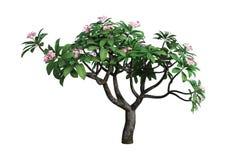 árvore do Plumeria da rendição 3D no branco Foto de Stock Royalty Free