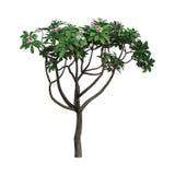 árvore do Plumeria da rendição 3D no branco Imagem de Stock
