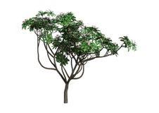 árvore do Plumeria da rendição 3D no branco Foto de Stock