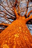 Árvore do por do sol Fotografia de Stock