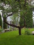 Árvore do quintal Imagens de Stock