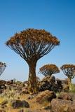 Árvore do Quiver Imagem de Stock