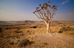 Árvore do Quiver fotos de stock royalty free