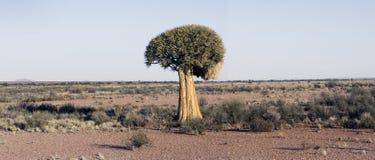 Árvore do Quiver fotos de stock