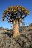 Árvore do Quiver fotografia de stock