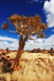 Árvore do Quiver (dichotoma do aloés) foto de stock