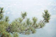 Árvore do ramo Foto de Stock Royalty Free
