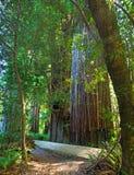 Árvore do Redwood fotografia de stock royalty free
