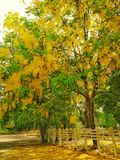 Árvore do rei imagens de stock