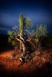 Árvore do Saguaro e do Mesquite Fotografia de Stock