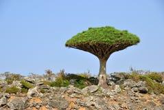 Árvore do sangue de dragão Fotografia de Stock