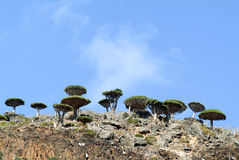 Árvore do sangue de dragão na ilha do Socotra imagens de stock