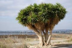 Árvore do sangue de dragão perto dos Salinas de Las de Torrevieja fotografia de stock royalty free
