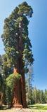 Árvore do Sequoia fotografia de stock royalty free