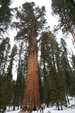 Árvore do Sequoia gigante Fotografia de Stock