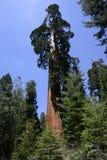 Árvore do Sequoia gigante Fotografia de Stock