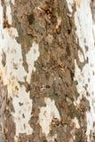 Árvore do sicômoro - textura da casca foto de stock royalty free