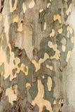 Árvore do sicômoro - textura da casca imagens de stock royalty free