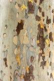 Árvore do sicômoro - textura da casca fotografia de stock