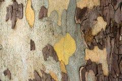 Árvore do sicômoro - textura da casca imagem de stock