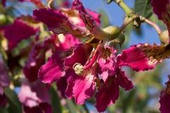 A árvore do speciosa do Ceiba da flor Árvore do speciosa de Chorisia fotos de stock royalty free