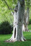 Árvore do Sycamore fotos de stock