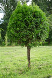 Árvore do Thuja Foto de Stock