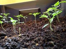 Árvore do tomate Imagens de Stock Royalty Free