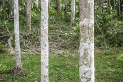 Árvore do tronco da palma de bétel Imagens de Stock